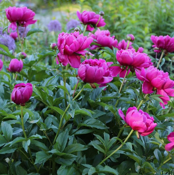Божественні півонії: 6 корисних порад, як виростити багато квітів