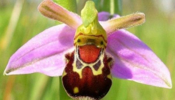 Самі незвичайні орхідеї, які насправді існують