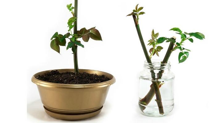 Кілька простих порад, як змусити зрізане стебло квітки пустити коріння
