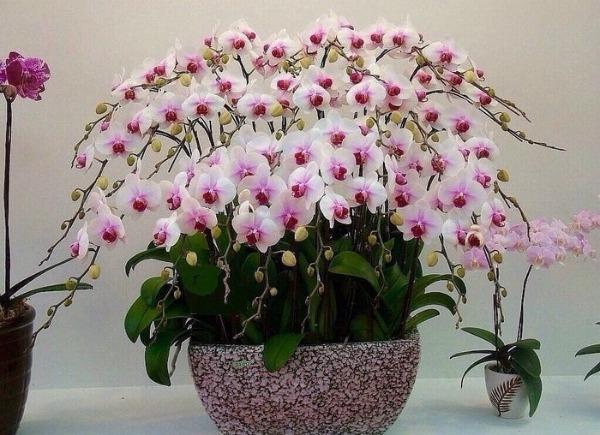 Проста, але ефективна смакота для шикарного цвітіння орхідей