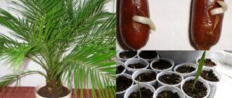 Як виростити фінікову пальму