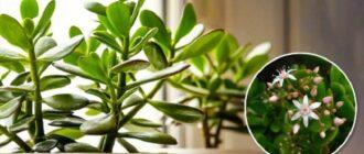 Удобрення грошового дерева - 4 простих засобів