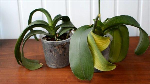 Чому у орхідеї в'януть листя? Рятуємо улюблену рослину