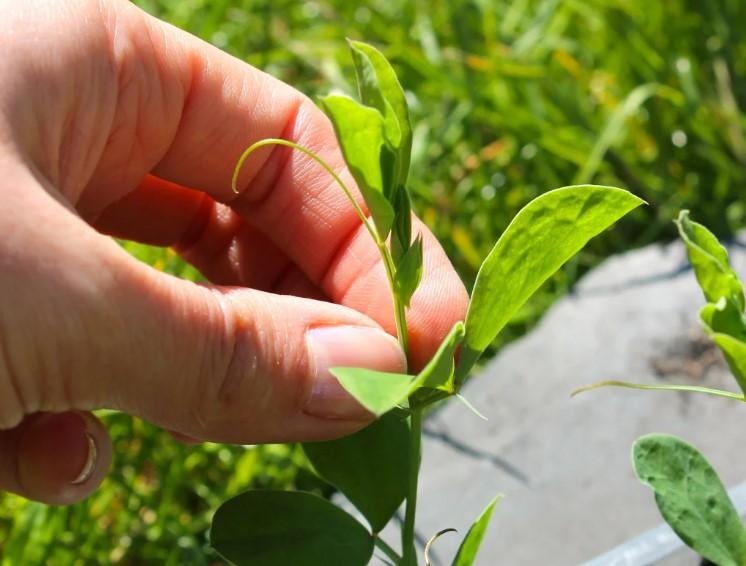 Як і коли садити Горох весною у відкритий ґрунт. Невеликі секрети вирощування гороху